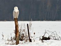 Gufo di Snowy Fotografia Stock