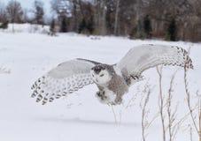 Gufo di Snowy Fotografia Stock Libera da Diritti