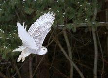 Gufo di Snowy di volo Immagini Stock Libere da Diritti