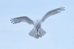 Gufo di Snowy, scandiaca di Nyctea, volo sul cielo, scena con le ali aperte, Groenlandia dell'uccello raro di azione di inverno fotografie stock libere da diritti