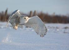 Gufo di Snowy di volo immagine stock libera da diritti