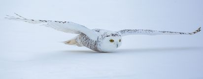 Gufo di Snowy di volo fotografie stock