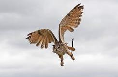 Gufo durante il volo Fotografie Stock