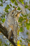 Gufo eared lungo Fotografia Stock