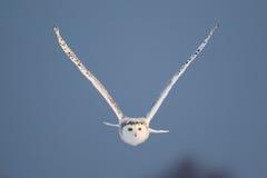 Gufo femminile di Snowy in volo Immagine Stock Libera da Diritti