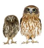 Gufo femminile e un owlet Fotografia Stock