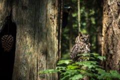 Gufo in foresta pluviale canadese Fotografia Stock