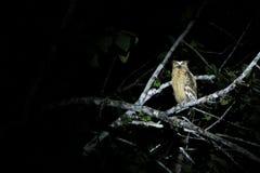 Gufo giallo selvaggio dell'occhio alla notte, giunzione di Sukau Fotografia Stock