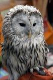 Gufo grigio dell'uccello Immagini Stock