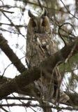Gufo Long-eared che si siede su un albero. Immagine Stock Libera da Diritti