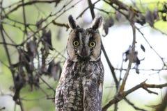 Gufo Long-eared (otus del Asio) Immagine Stock