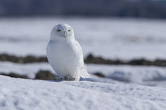 Gufo maschio dello Snowy Immagini Stock Libere da Diritti