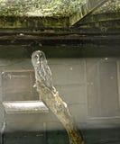 Gufo nel giardino dell'uccello alla bella casa di campagna vicino a Leeds West Yorkshire che non è la fiducia nazionale Fotografia Stock
