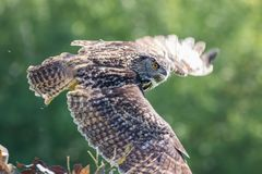 Gufo nel volo livellato Volo silenzioso della rapace del cacciatore Immagini Stock Libere da Diritti