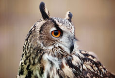 Gufo reale di Eagle Owl Immagine Stock