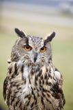 Gufo reale di Eagle Owl Fotografie Stock