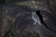 Gufo reale macchiato che si siede sulle rocce in riflettore alla notte immagini stock libere da diritti