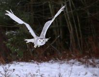 Gufo scivolante di Snowy Fotografia Stock Libera da Diritti