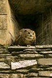Gufo selvaggio in parete del castello Immagine Stock