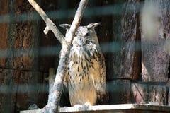 gufo Stridere-eared nella gabbia Fotografie Stock Libere da Diritti