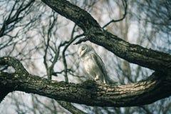 Gufo sull'albero Fotografia Stock Libera da Diritti