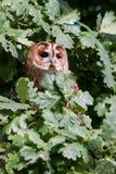 Gufo Tawny (aluco dello Strix) Immagine Stock Libera da Diritti
