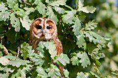 Gufo Tawny (aluco dello Strix) Fotografia Stock Libera da Diritti