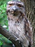 Gufo Tawny di Frogmouth Fotografia Stock