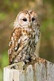 Gufo Tawny sull'alberino della rete fissa Fotografie Stock
