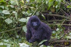 Guhonda junior, syn wielki Silverback w Rwanda Fotografia Royalty Free