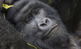 Guhonda Silverback Gorilla full size Portrait. Guhonda Silverback Gorilla full size photograph in Virunga National Park munching leaves, Rwanda, Africa Stock Images