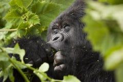 Guhonda Silverback Gorilla Portrait Arkivfoton