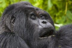 Guhonda Silverback goryla pełnych rozmiarów portret Obrazy Stock