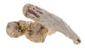 Gui Dang, angelica sinensis, βοτανικό Στοκ εικόνα με δικαίωμα ελεύθερης χρήσης