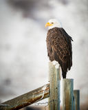 Águia americana que está em uma cerca, Teton grande Imagem de Stock
