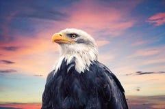 Águia calva Imagem de Stock Royalty Free