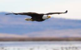 Águia calva no vôo Imagem de Stock Royalty Free