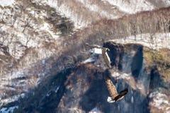 ?guia de mar de Steller de voo e ?guia branco-atada Montanhas cobertos de neve no fundo Nome cient?fico: Haliaeetus fotografia de stock