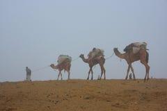 Guia local com os camelos que andam na névoa do amanhecer, deser de Thar Fotografia de Stock