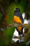 Guianês Trogon, violaceus de Trogon, amarelo e escuro - brid tropico exótico azul que senta-se no ramo fino na floresta, Costa Ri imagem de stock