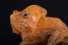 Guiana Shield Leaf Toad Rhinella lescurei Stock Images