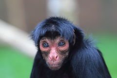 Guiana spider monkey. The detail of guiana spider monkey Stock Photo