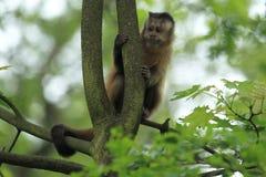 Guianan棕色连斗帽女大衣 免版税图库摄影