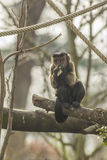 Guianan Brown Capuchin eating Stock Images