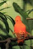 Guianan haan-van-de-rots Royalty-vrije Stock Afbeeldingen