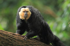 Guianan saki Royalty Free Stock Photo