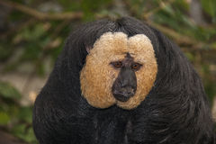 Guianan saki. Head shot of male Guianan Saki monkey Stock Image
