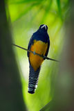 Guianan Trogon, Trogon violaceus, yellow and dark blue exotic tropic brid sitting on thin branch in the forest, Brazil Royalty Free Stock Photo