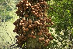 Guianensis Couroupita известное как дерево пушечного ядра Стоковое Фото
