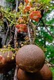 Guianensis Couroupita Цветки дерева пушечного ядра Стоковые Изображения RF
